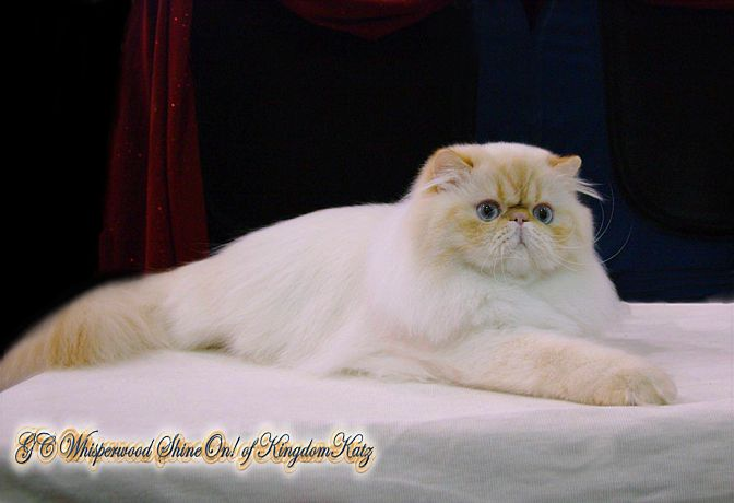Persian Kittens For Sale | Himalayan Kittens For Sale